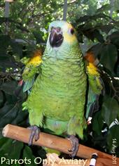 Blue Fronted Amazon